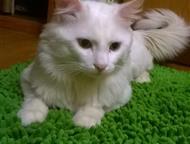 вязка кошек Красивый Кот пригласит к себе в гости кошечку, бесплатно) пару дней она поживет с нами), Хабаровск - Вязка кошек (случка)