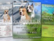 Щенки амтсаффтерьера, Мальчики и девочки, Профессиональный питомник PAKS VERILIS (РКФ) предлагает к продаже высокопородных щенков Американского стаффо, Пушкино - Продажа собак,  щенков